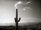 Smoking Saguaro, Tuscon, Arizona